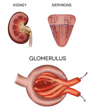 Nierenkörper und Glomerulus